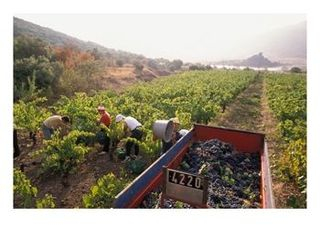 picking_wine_grapes_in_vineyard_in_languedoc_roussillon_region_of_france