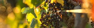 Vines_red_wine_grapes_in_spice_route_vineyards_swartland_south_africa