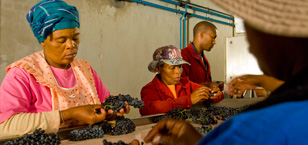 vineyard_workers_sorting_red_wine_grapes_in_spice_route_vineyard_swartland_south_africa